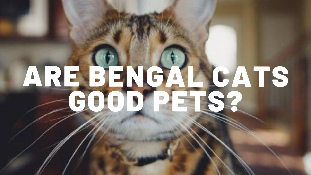 Are Bengal Cats Good Pets?
