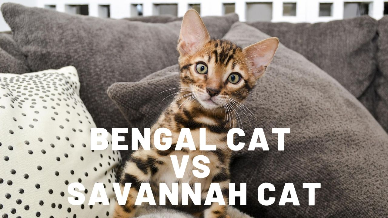 bengal cat vs savannah cat featured image