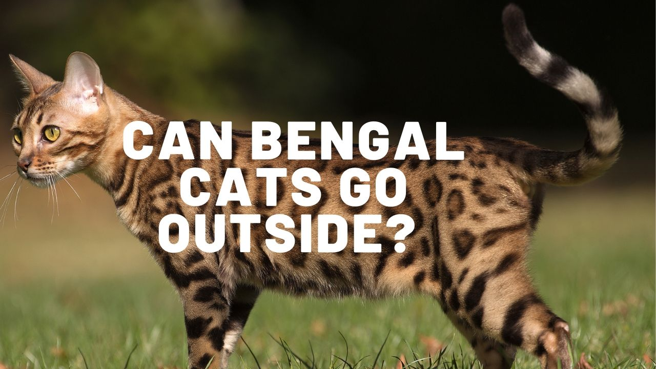 can bengal cats go outside featured image