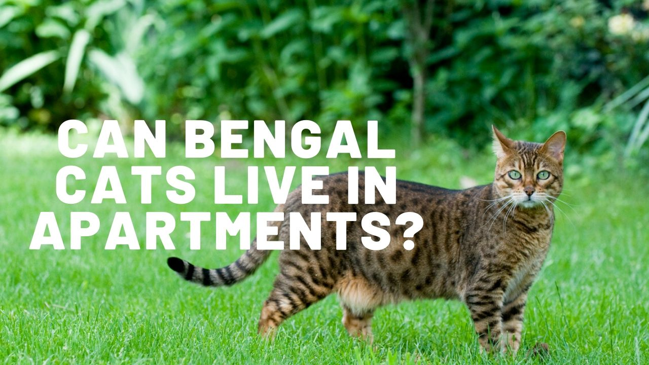 can bengal cats live in apartments featured image