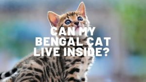 Can My Bengal Cat Live Inside?