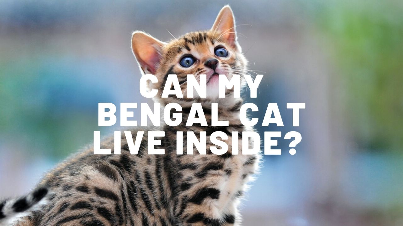 can my bengal cat live inside featured image