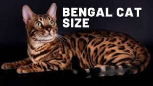 How Big Are Bengal Cats?