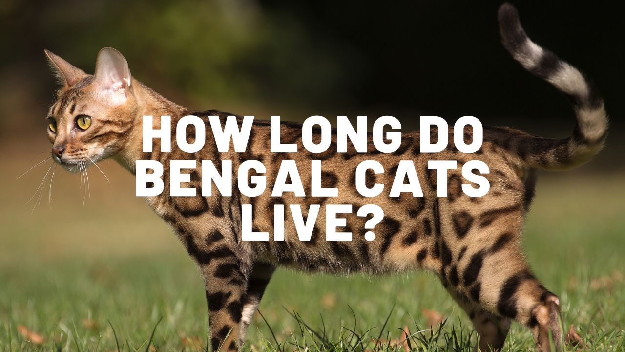 how long do bengal cats live featured image