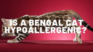 Is a Bengal Cat Hypoallergenic?