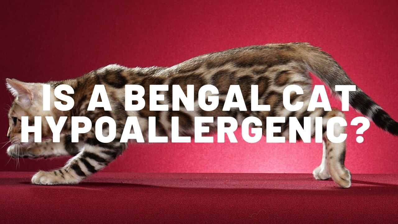 Is A Bengal Cat Hypoallergenic Authentic Bengal Cats