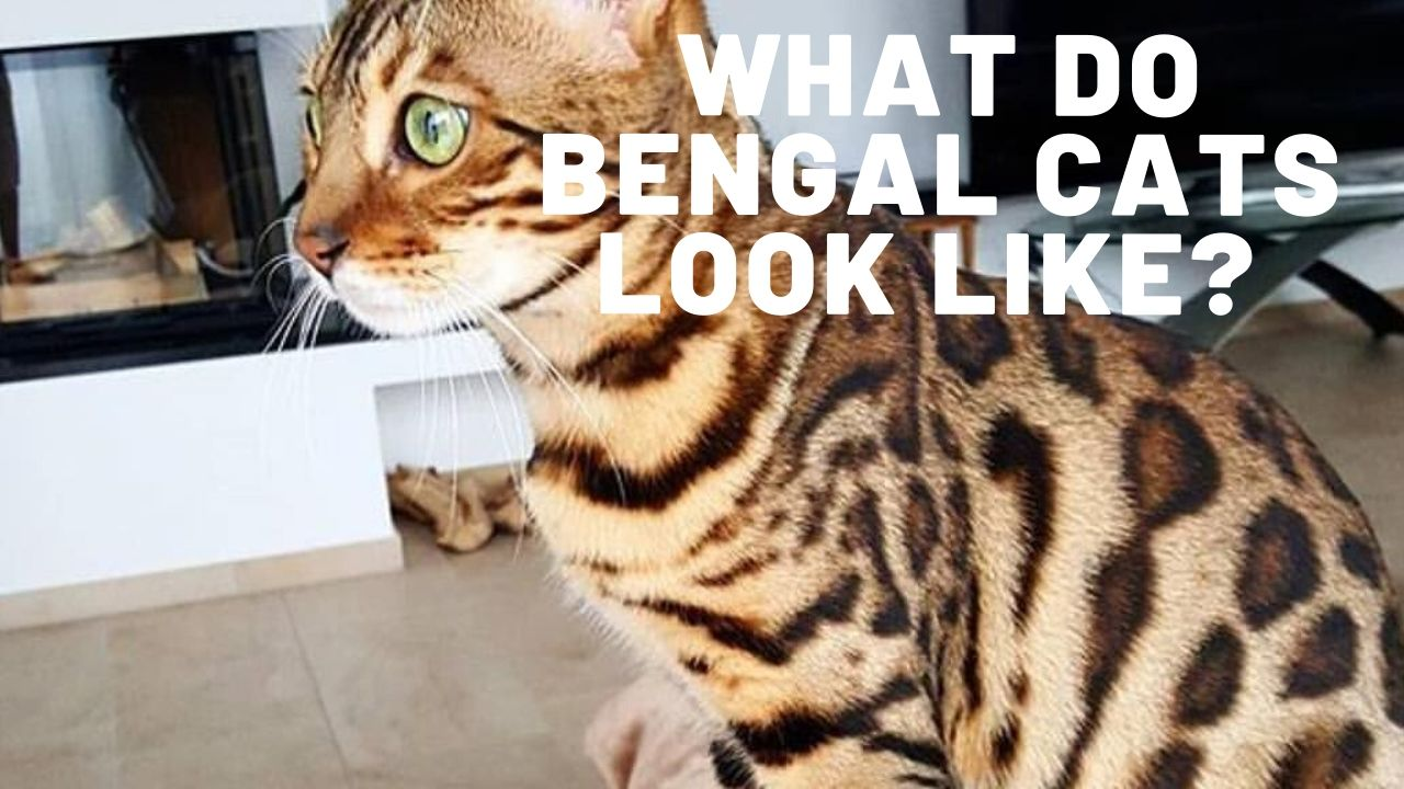 what do bengal cats look like thumbnail