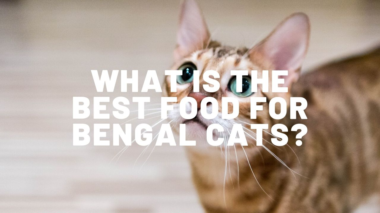 What Is The Best Food For Bengal Cats?