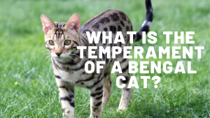 What Is The Temperament Of A Bengal Cat?