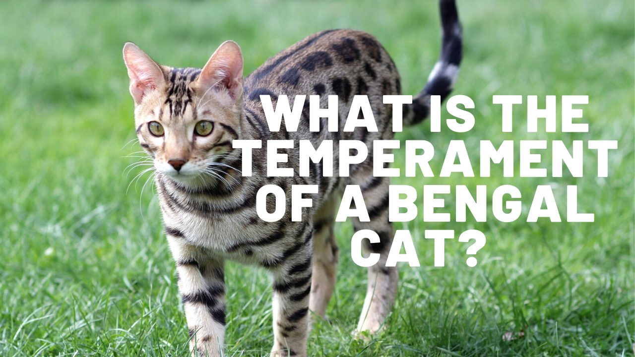 what is the temperament of a bengal cat
