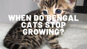 When Do Bengal Cats Stop Growing?