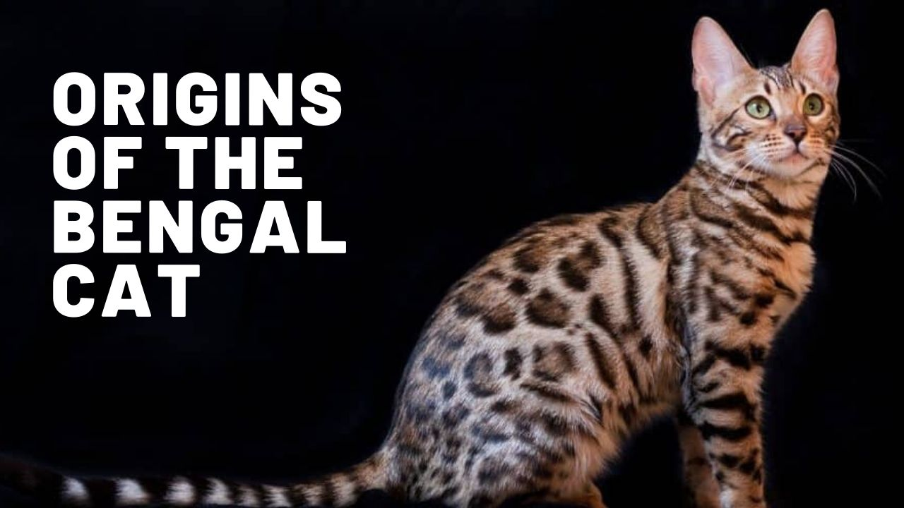Where Do Bengal Cats Come From?