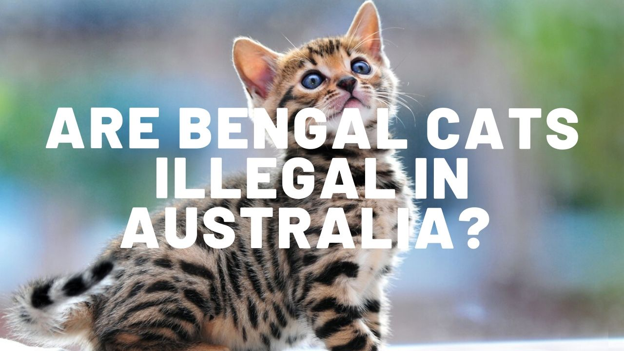 Are Bengal Cats Illegal In Australia?