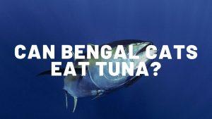 Can Bengal Cats Eat Tuna?