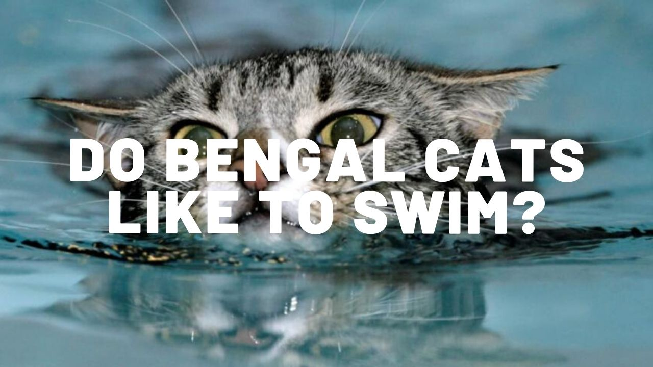 do bengal cats like to swim thumbnail