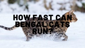 How Fast Can Bengal Cats Run?
