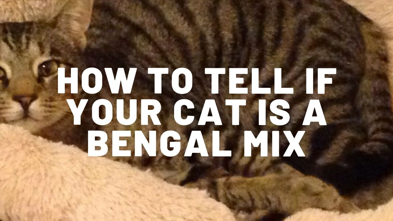 how to tell if your cat is a bengal mix thumbnail