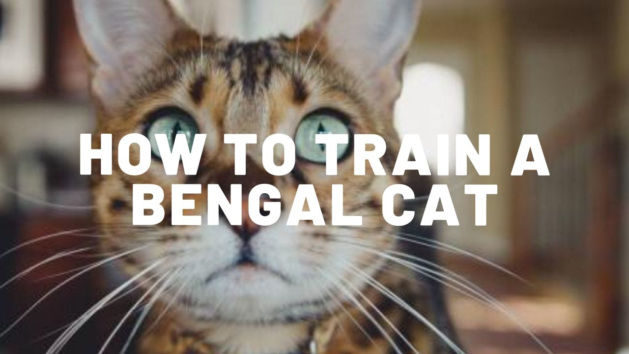 How To Train A Bengal Cat