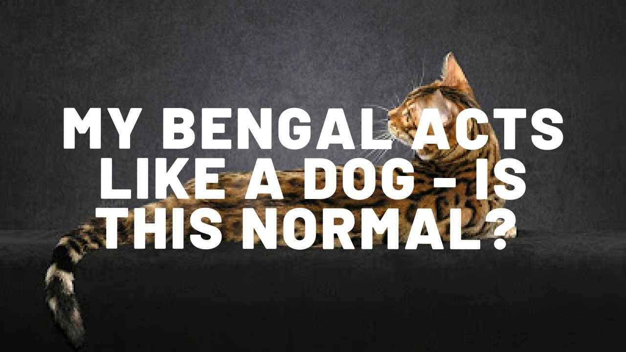 My Bengal Cat Acts Like A Dog – Is This Normal?