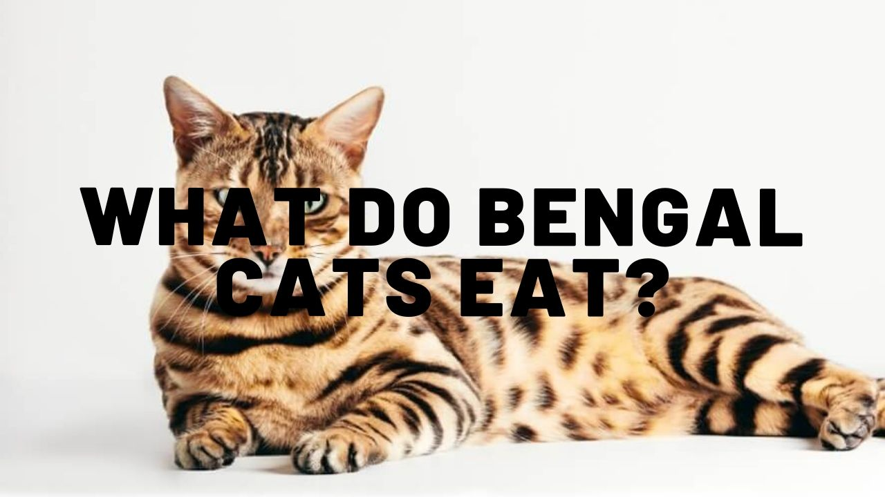 What Do Bengal Cats Eat?