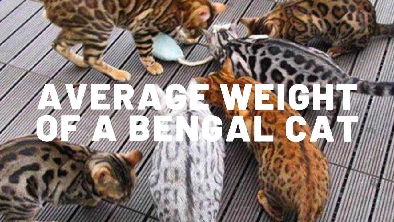 average weight of a bengal cat thumbnail