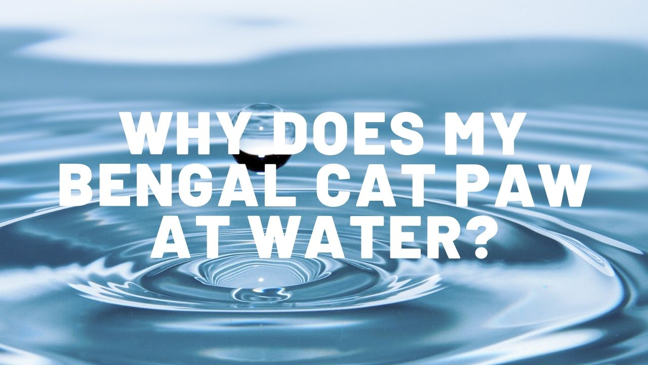 Why Does My Bengal Cat Paw At Water?