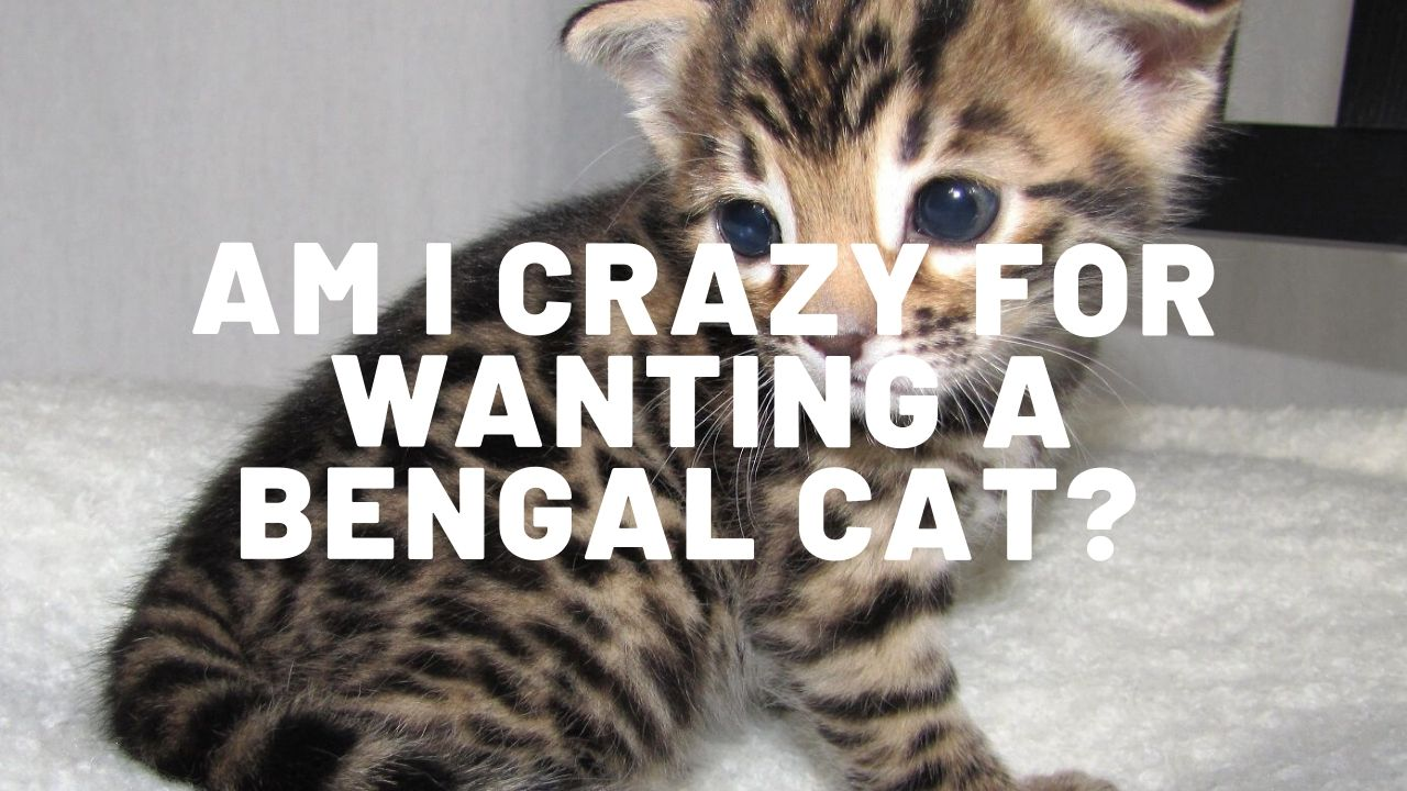 Am I Crazy For Wanting To Buy A Bengal Cat?