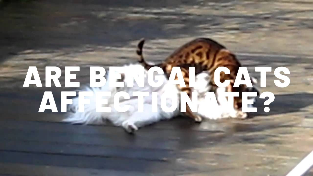 Are Bengal Cats Affectionate?