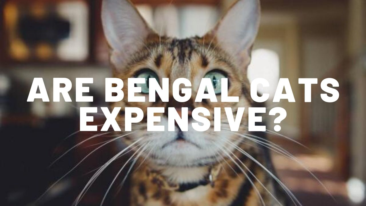 Are Bengal Cats Expensive?