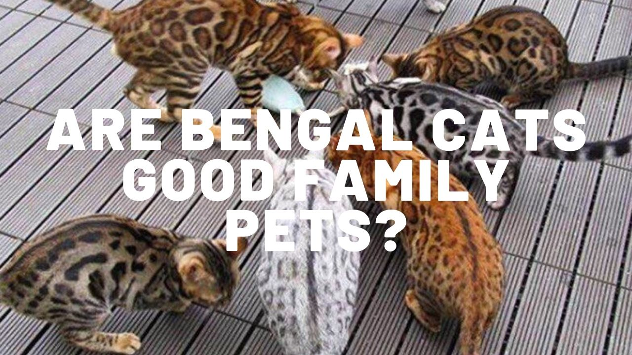 Are Bengal Cats Good Family Pets?