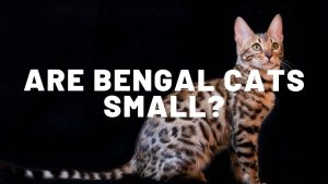 Are Bengal Cats Small?