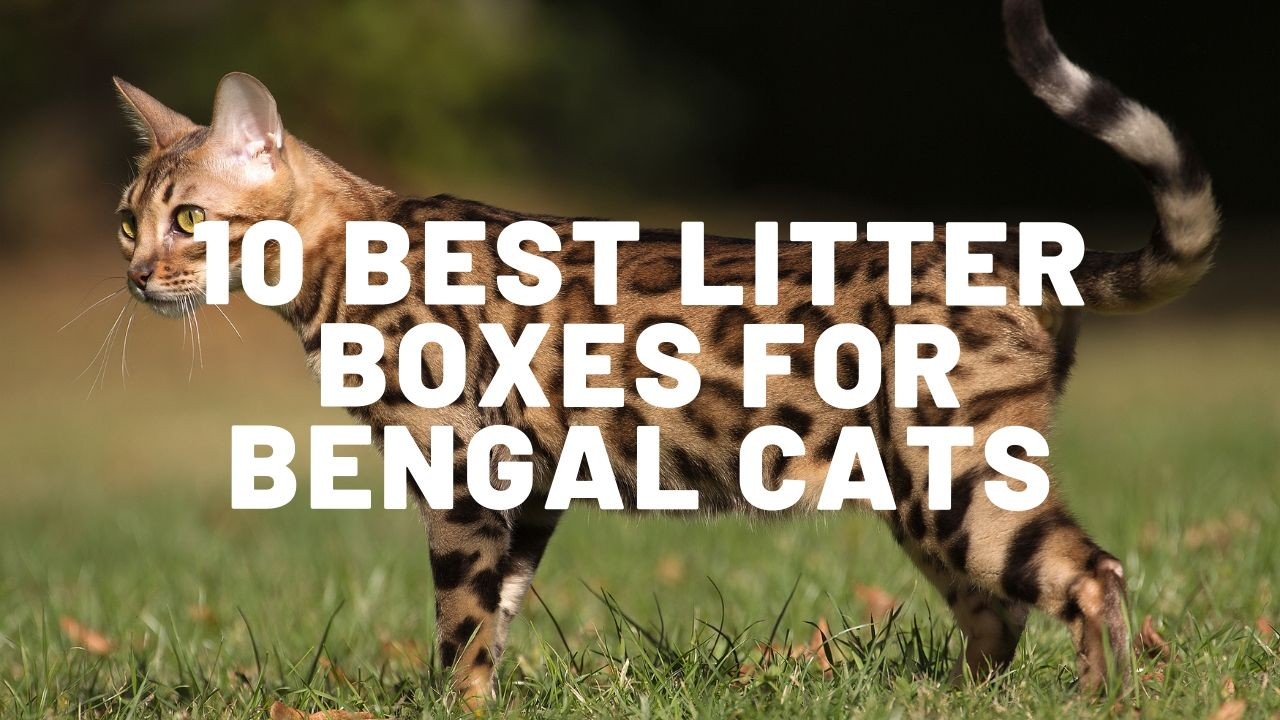 10 Best Litter Boxes For Bengal Cats