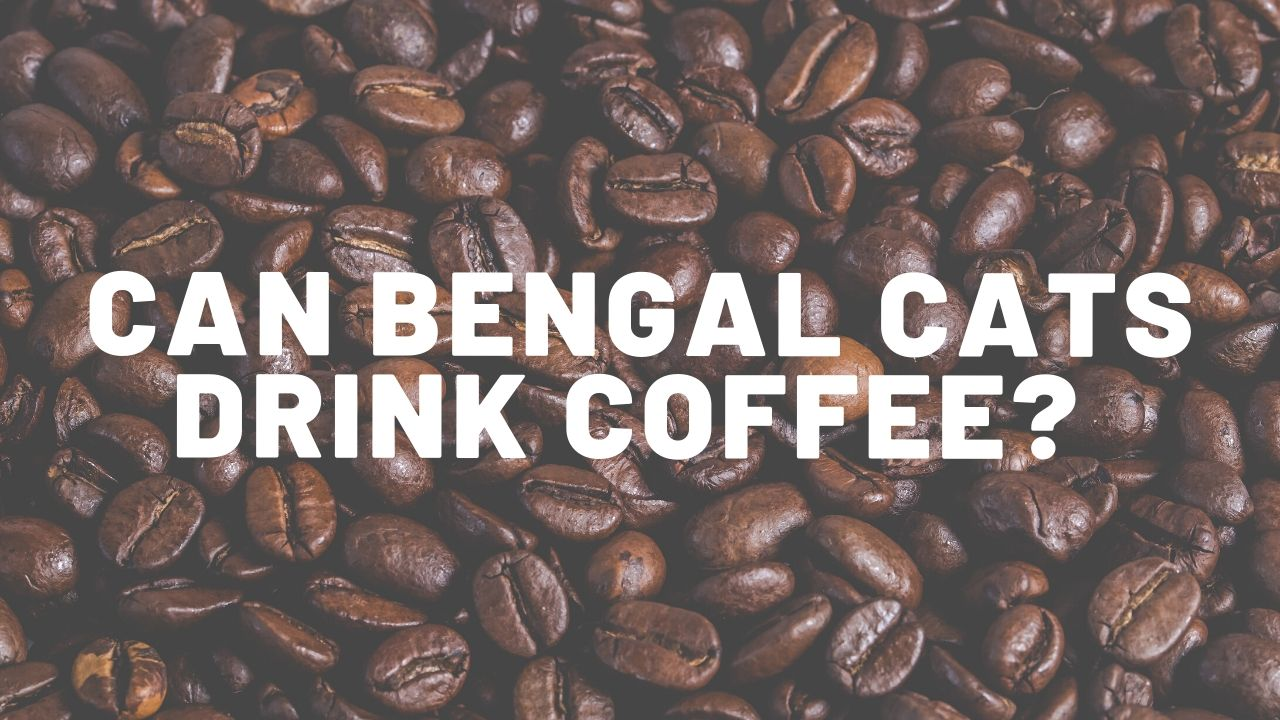 Can Bengal Cats Drink Coffee?