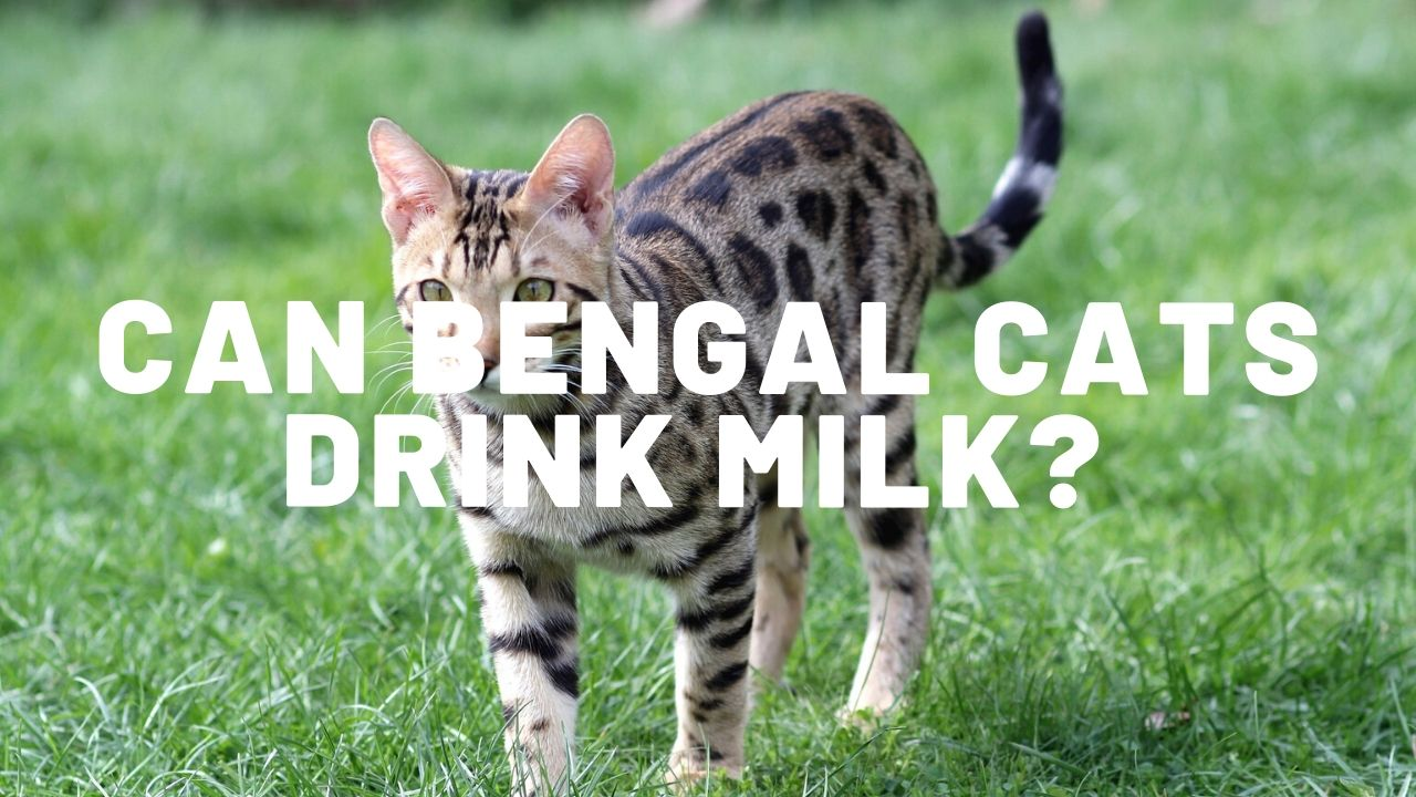 Can Bengal Cats Drink Milk?