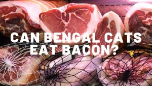 Can Bengal Cats Eat Bacon?