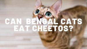 Can Bengal Cats Eat Cheetos?