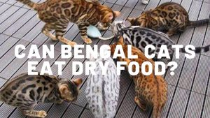 Can Bengal Cats Safely Eat Dry Food?