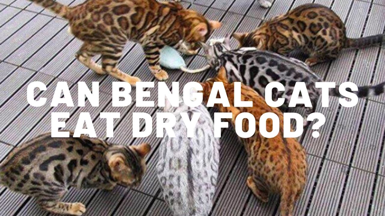can bengal cats eat dry food?