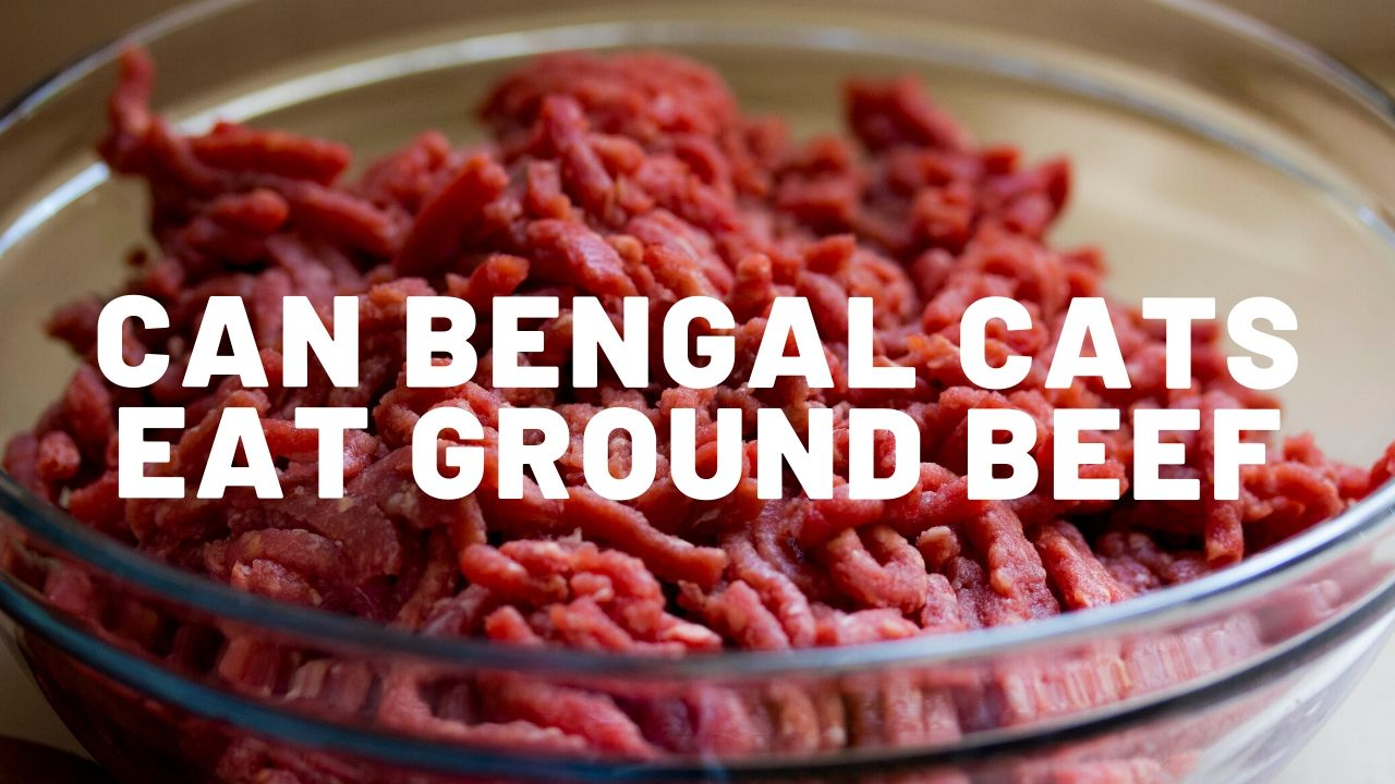 Can Bengal Cats Eat Ground Beef?