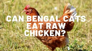 Can Bengal Cats Eat Raw Chicken?