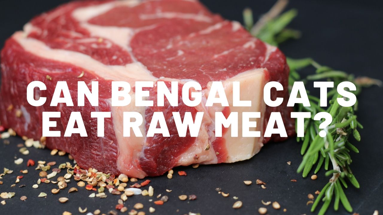 Can Bengal Cats Eat Raw Meat?