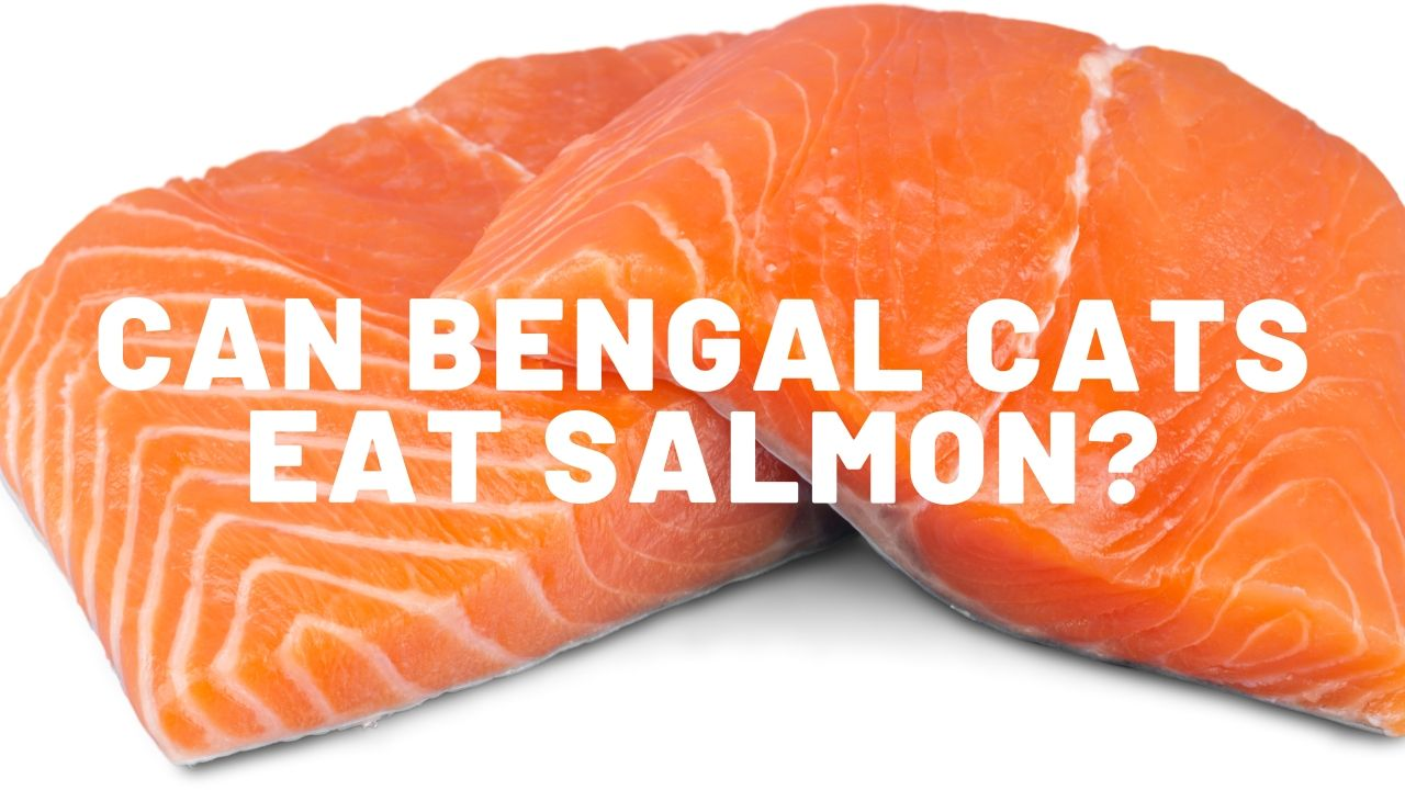 Can Bengal Cats Eat Salmon?