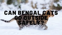 Can Bengal Cats Go Outside Safely?