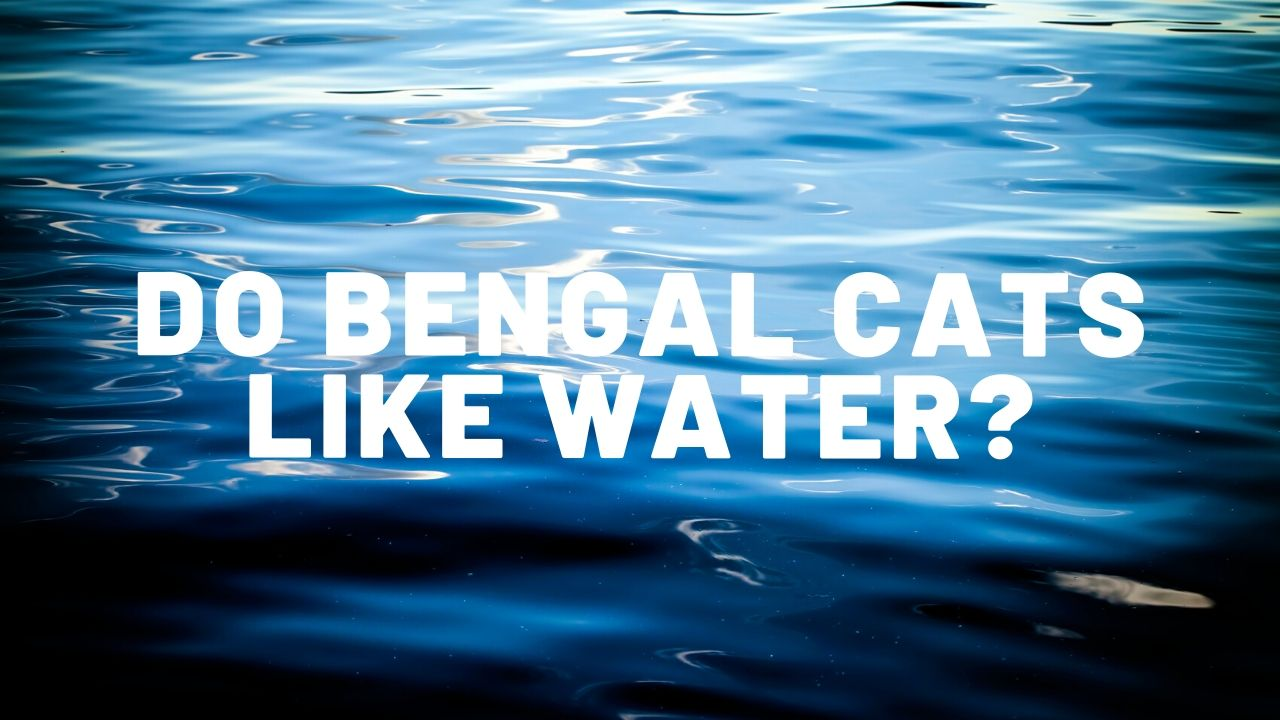 Do Bengal Cats Like Water?