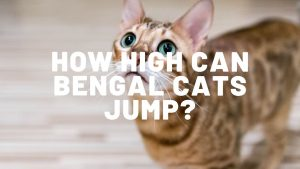 How High Can Bengal Cats Jump?