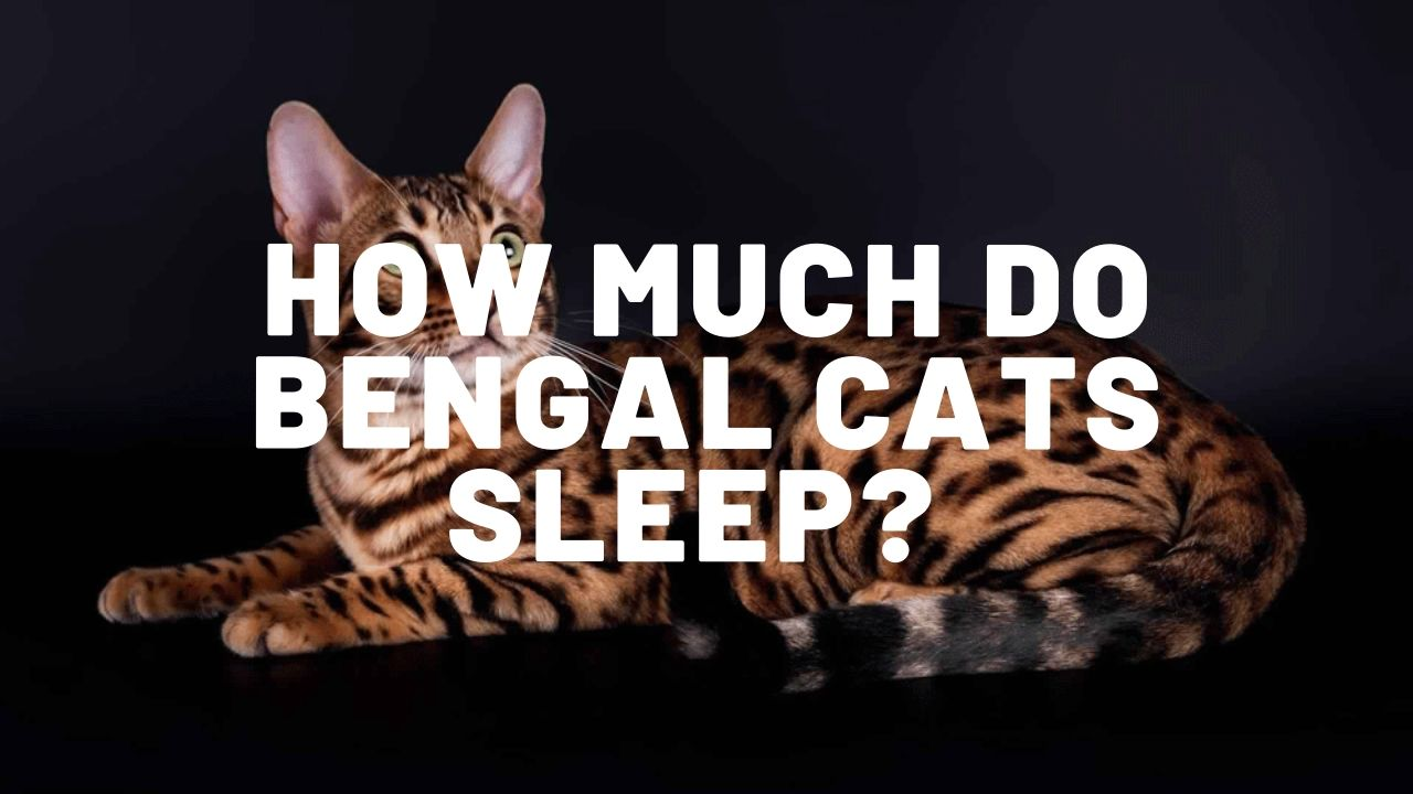 how much do bengal cats sleep thumbnail