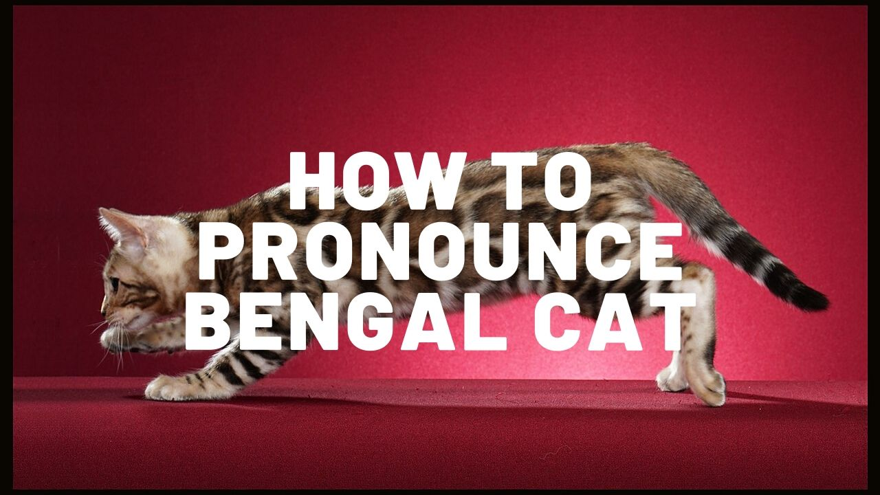 "How To Pronounce ""Bengal Cat"""