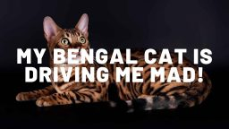 My Bengal Cat Is Driving Me Mad - What Can I Do?