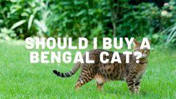 Should I Buy A Bengal Cat?