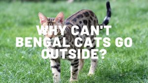 Why Can't Bengal Cats Go Outside?